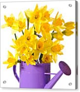 Daffodil Display Acrylic Print by Amanda Elwell