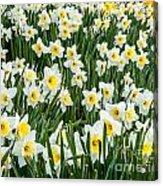 Daffodil Field 2 Acrylic Print