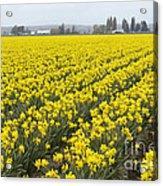 Daffodil Field Acrylic Print