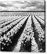 Daffodil Fields II Acrylic Print