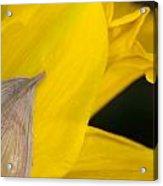 Daffodil Flower Acrylic Print