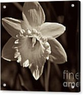 Daffodil In Black And White Acrylic Print