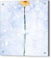 Daffodil In Snow Acrylic Print