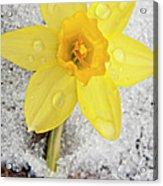 Daffodil In Spring Snow Acrylic Print