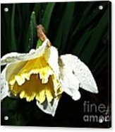 Daffodil In The Rain 2 Acrylic Print