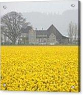 Daffodil Haze Acrylic Print
