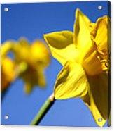 Daffodil Line Acrylic Print