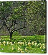 Daffodil Meadow Acrylic Print by Ann Horn