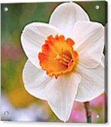 Daffodil  Acrylic Print by Rona Black