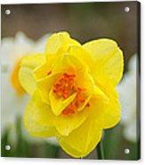 Daffodil Standout Acrylic Print