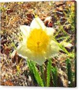Daffodil Under Water Acrylic Print