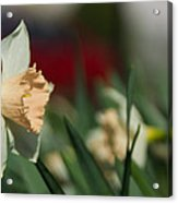 Daffodil With A Splash Of Red Acrylic Print