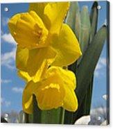 Daffodills In Spring Acrylic Print