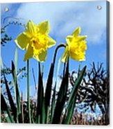 Daffodils 2 Acrylic Print