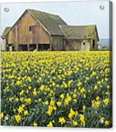 Daffodils And Barn Acrylic Print