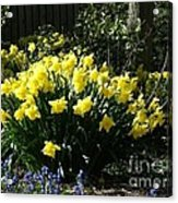 Daffodils And Bluebells Acrylic Print