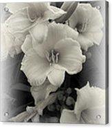 Daffodils Emerge Acrylic Print