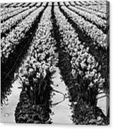 Daffodils Forever Acrylic Print