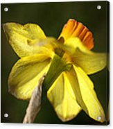 Daffodils Grace Acrylic Print