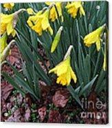 Daffodils In The Rain  Acrylic Print