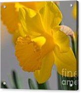 Daffodils In The Setting Sun Acrylic Print