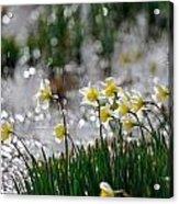Daffodils On The Shore Acrylic Print