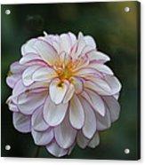 Dahlia # 5 Acrylic Print