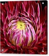 Dahlia-0006 Acrylic Print