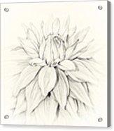 Dahlia 3 Acrylic Print