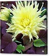Dahlia And Potato Vine  Acrylic Print