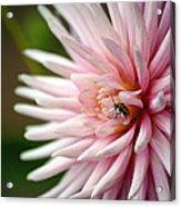 Dahlia Bug Acrylic Print