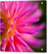 Dahlia Burst Acrylic Print