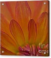 Dahlia Closeup Acrylic Print