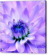 Dahlia Dream Acrylic Print
