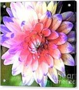 Dahlia Effect Acrylic Print