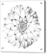 Dahlia Flower As Drawing In Black And White. Acrylic Print