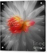 Dahlia Flower Beauty Acrylic Print