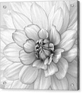 Dahlia Flower Black And White Acrylic Print