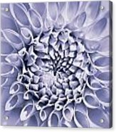 Dahlia Flower Star Burst Purple Acrylic Print