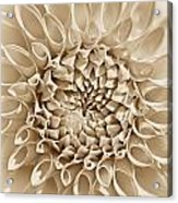 Dahlia Flower Star Burst Sepia Acrylic Print