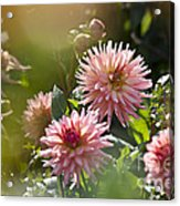 Dahlia Garden Acrylic Print