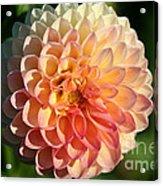 Dahlia Hue Acrylic Print