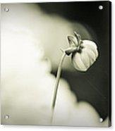 Dahlia II - Dreamers Garden Series Acrylic Print