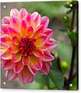 Dahlia In Full Bloom Acrylic Print