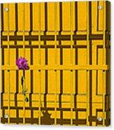 Dahlia In Yellow Gate Acrylic Print