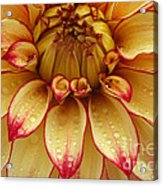 Dahlia Lady Darlene In Close Up Acrylic Print