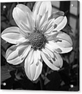 Dahlia Named Alpen Cherub Acrylic Print