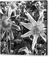 Dahlia Named Amy's Star Acrylic Print