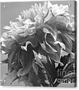 Dahlia Named Bodacious Acrylic Print