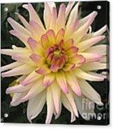 Dahlia Named Camano Ariel Acrylic Print